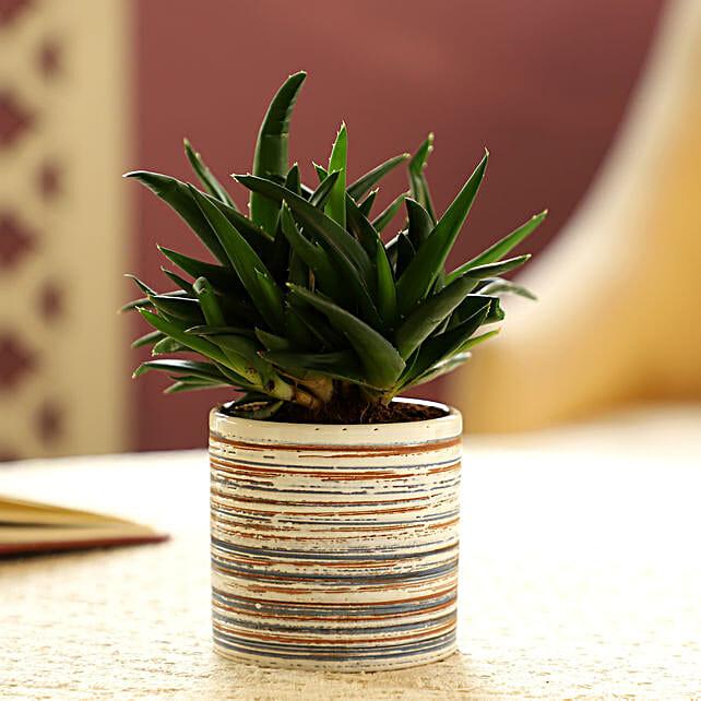 Mini Aloe Vera In White Ceramic Pot