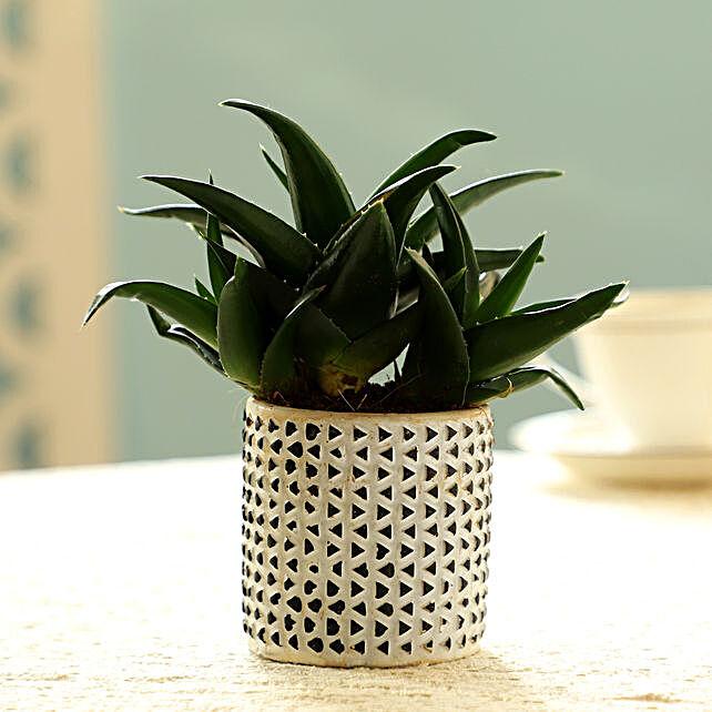 Mini Aloe Vera In White Pot