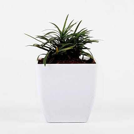 air purifying plant with imported plastic pot:Send Shrubs