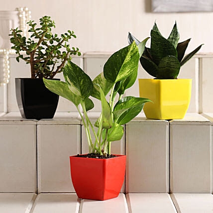 Online Plant Combo:Buy Air Purifying Plants