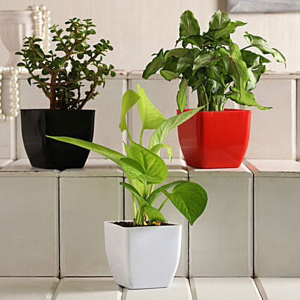 Money Jade Syngonium Plant Set:Indoor Plants