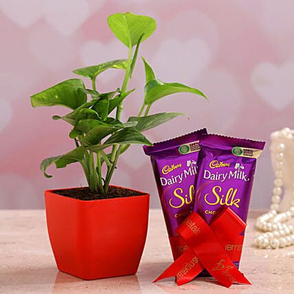 Money Plant And Dairy Milk Silk Combo
