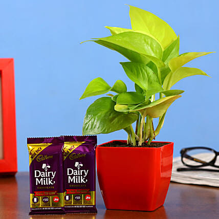 Money Plant Dairy Milk Bars Hand Delivery:Gift Combos For Father's Day