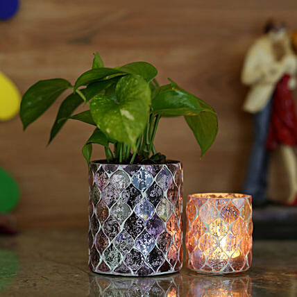 good luck plant for home online