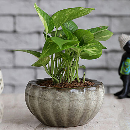 Online Money Plant in Dish Planter
