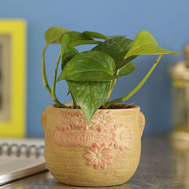 Money Plant In Brown Ceramic Pot