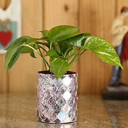 lucky plant with diamond cut planter online:Glass Planters Delivery