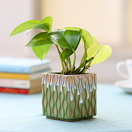 Money Plant in Green Ceramic Pot