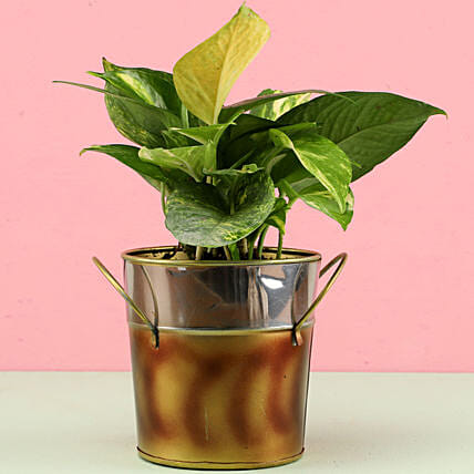online plant with bucket shape pot