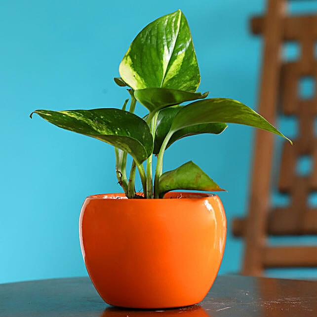 Money Plant In Orange Powder Coated Metal Pot:Home Decor for Wedding