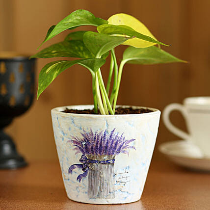 Money Plant In Purple Ceramic Pot