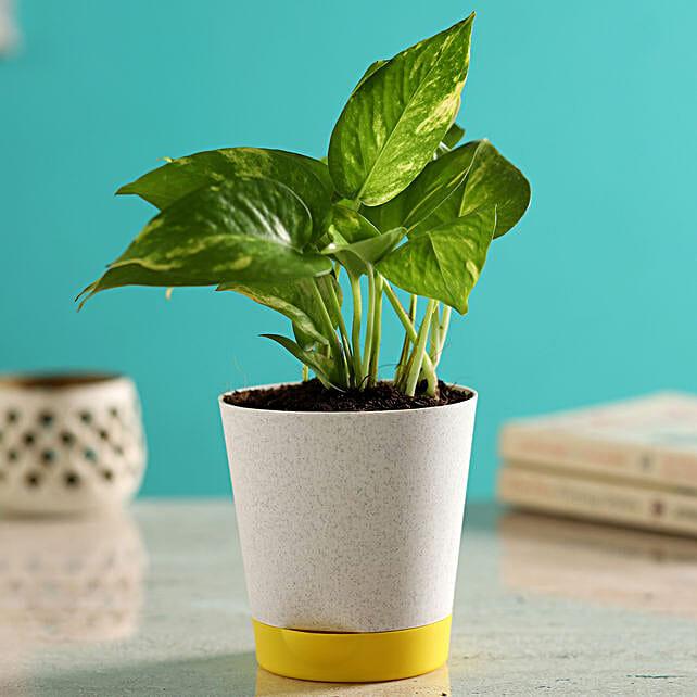Money Plant In Self-Watering Grey Pot