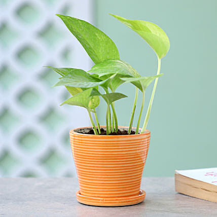 Online Golden Money Plant In Yellow Pot