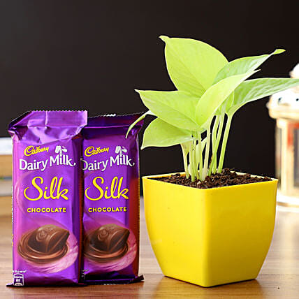 Money Plant In Yellow Pot & Cadbury Chocolates