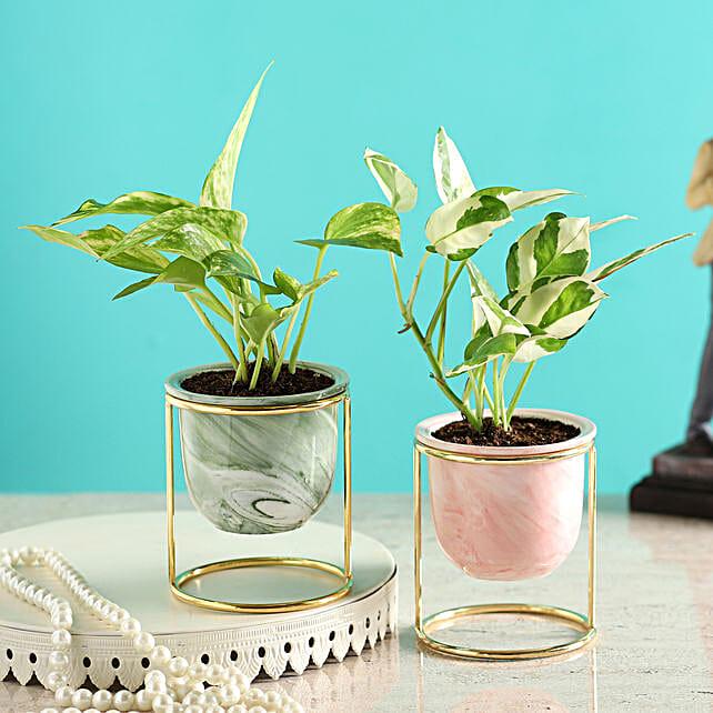 Money Plant & White Pothos In Ceramic Planters:Premium Gifts