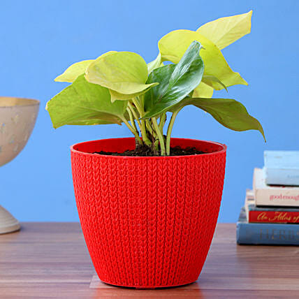 Money Plant With Red Turkey Plastic Pot