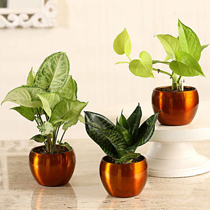 Online Money Plant With Sansevieria & Syngonium Combo