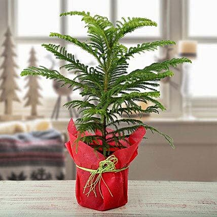 Christmas plant in a plastic pot