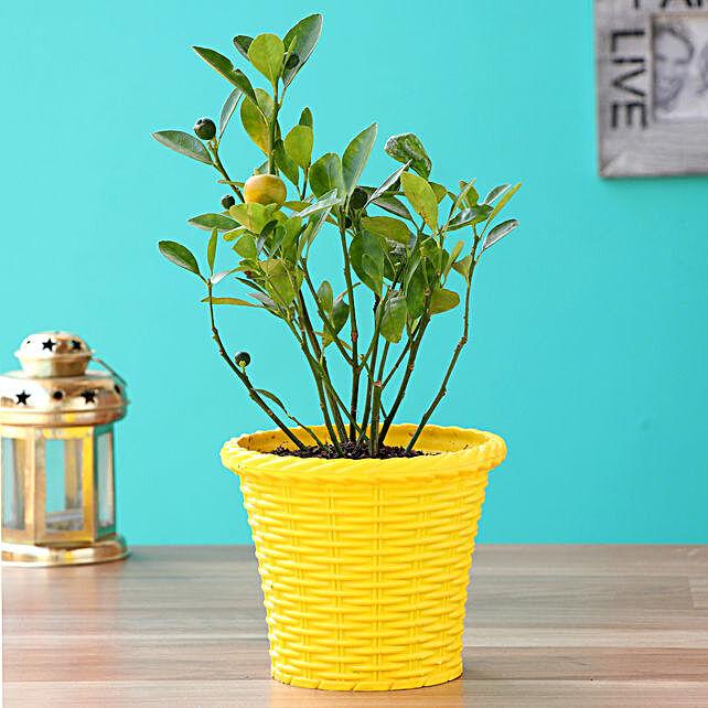 Orange Dwarf Plant With Yellow Shining Plastic Pot