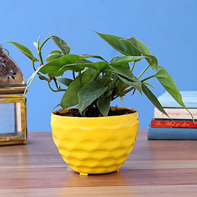 Oxycardium Green Plant In Yellow Plastic Pot