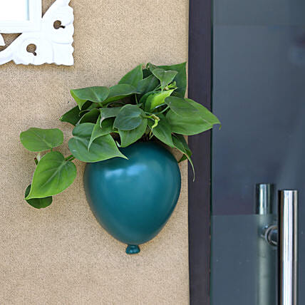 Oxycardium Plant In Green Wall Hanging Planter