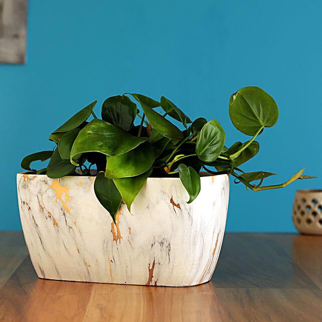 Oxycardium Plant In Rectangular Marble Pot