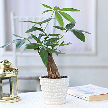 Online Bonsai Plant In Designer White Pot