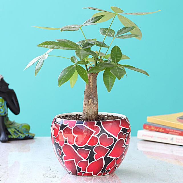 Pachira Bonsai in Pot