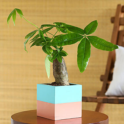 Pachira Plant In Blue N Pink Wooden Square Pot