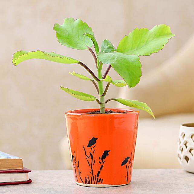 Ayurvedic Patharchatta Plant Online