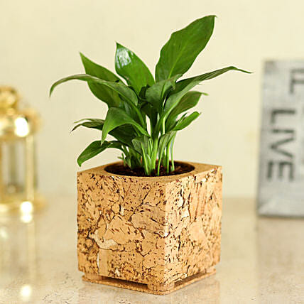 Peace Lily In Square Shaped Planter Hand Delivery