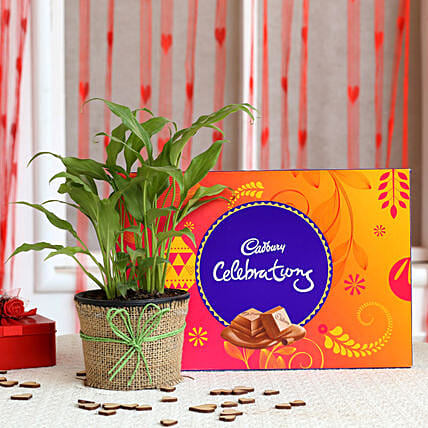 Plant and cadbury celebration Combo  for valentine