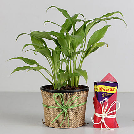 Plant and Chocolate Combo  for valentine
