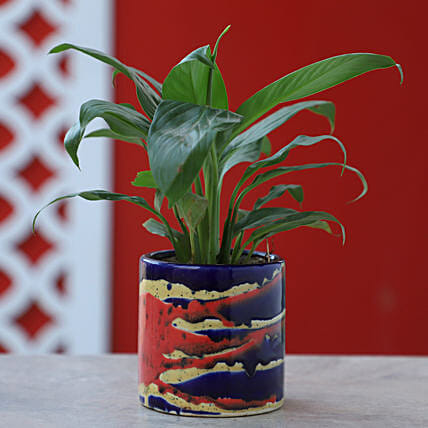 Online Peace Lily In Colorful Pot:Peace Lily