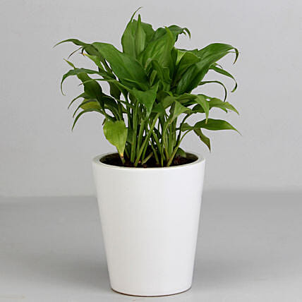 Lily Pot Plant for Valentine Gifting:Buy Flowering Plants