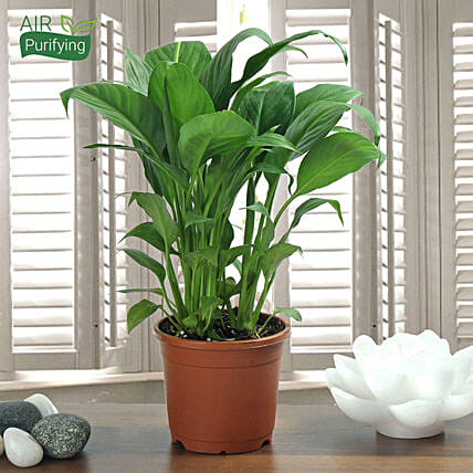 Peace Lily plant in a vase:Buy Flowering Plants