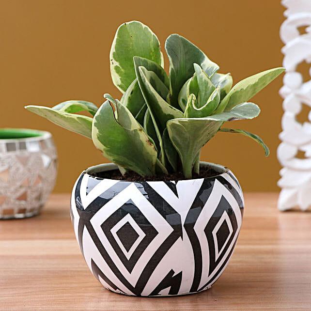 Peporima Plant In Designer Metal Pot