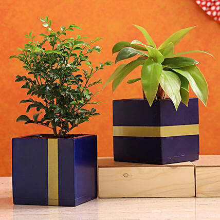 Philodendron Murraya Plant Combo In Mango Wood Planters