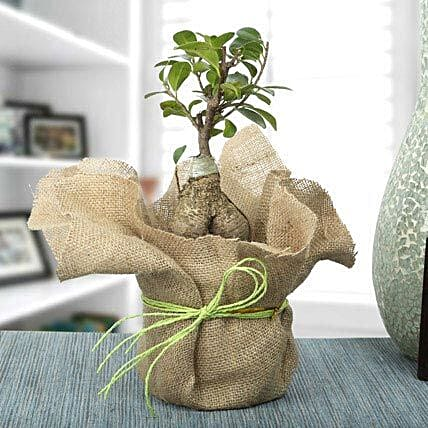 Ficus ginseng bonsai plant in a plastic pot wrapped with natural jute and green raffia