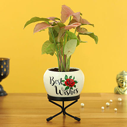 Pink Syngonium Plant In Best Wishes Metal Pott Hand Delivery