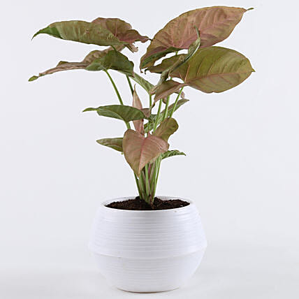 Pink Syngonium Plant In White Pot