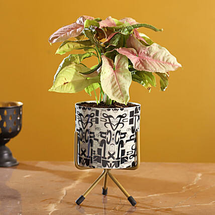 Pink Synognium Plant In Alphabet Print Round Pot:Plants Offers