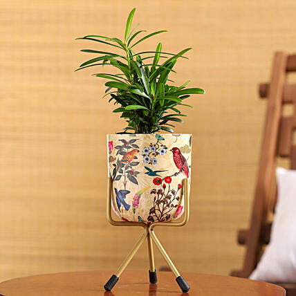 Podocarpus Plant In Enamel Print Pot With Stand