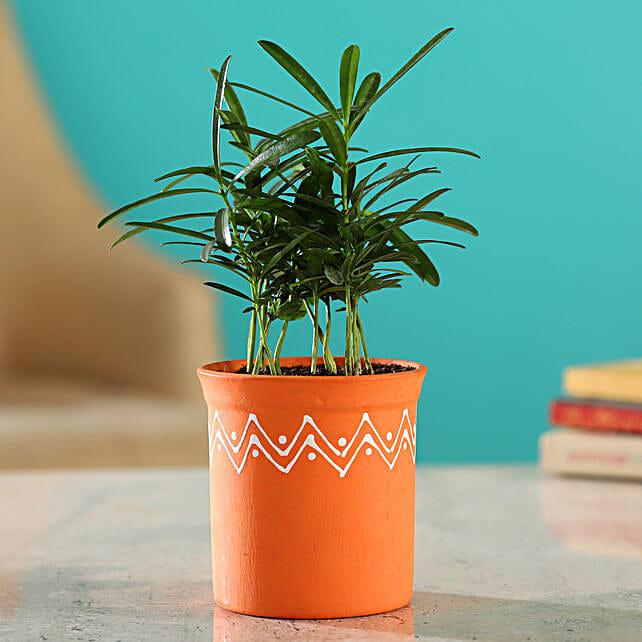 Podocarpus Plant In Orange Handmade Terracotta Pot