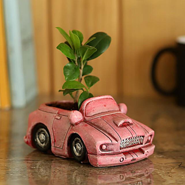 Pot of Ficus Plant