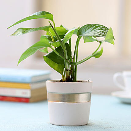Pot of Money Plant