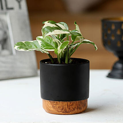 Pothos Plant in Black Pot:Ceramic Planters
