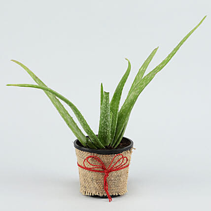 Online Potted Aloe Vera Plant