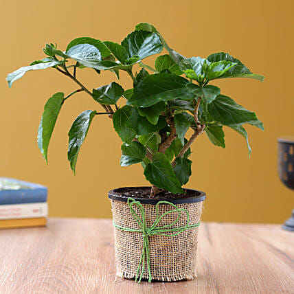 Online Potted Hibiscus Plant:Buy Hibiscus Plant