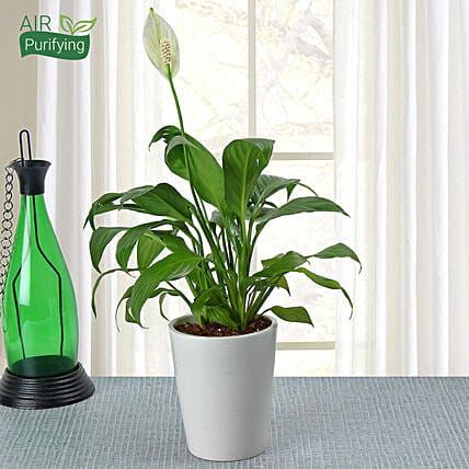 Peace lily plant in a ceramic vase:Air Purifying Plants